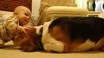Beagle Dog Meets the Baby for the First Time