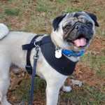 Bubba A PRONE Pug  Dog Adoption Happy Ending