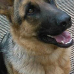 Zeus a German Shephard Puppy  Pet  Adoption Story