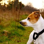 Tobi  Jack Russell  Terrier Mix Dog Adoption Success Story